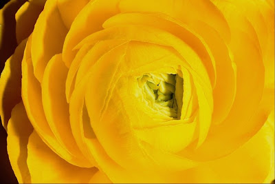 Yellow Roses Wallpapers Free Download
