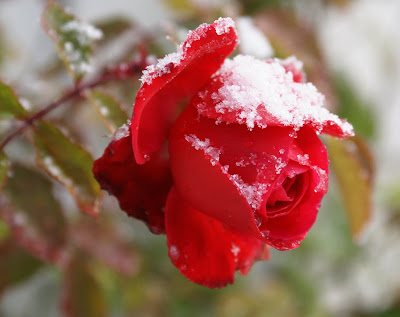 Beautiful Snow Roses Hd Images Free Download