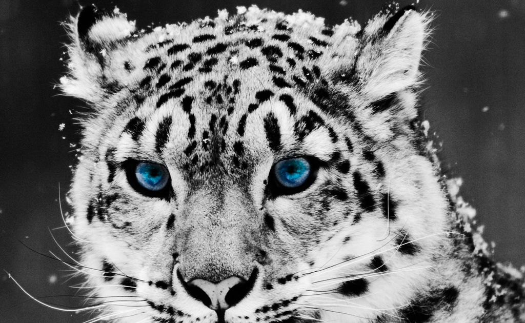 Free Animal Wallpaper Download Leopard Pictures Cute Leopard Images Free Download