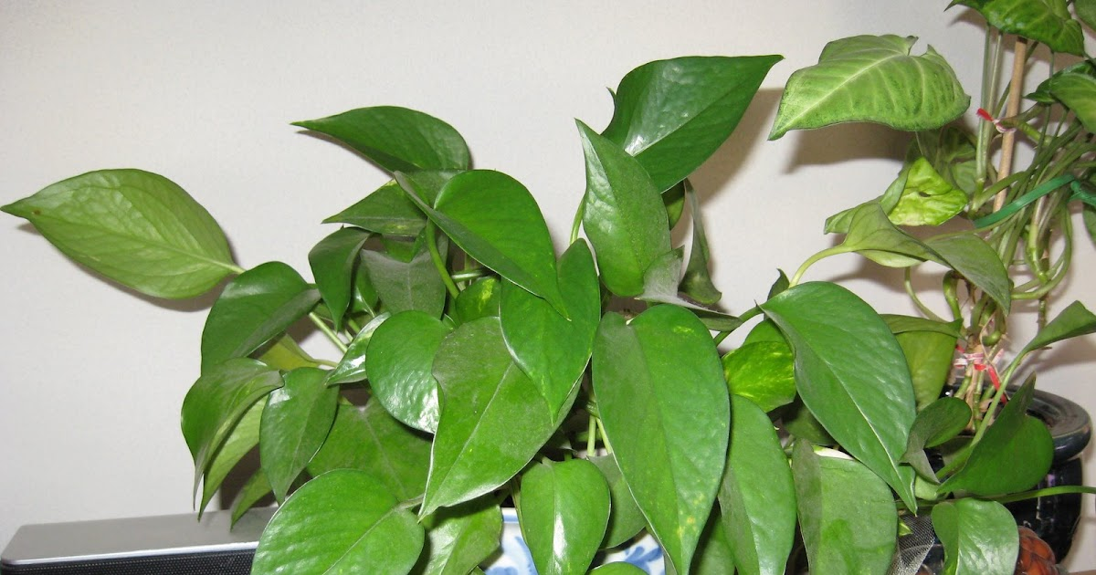Plant Crazy My Pothos and Philodendrons
