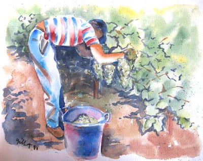 Napa Valley, Calilfornia grape picker