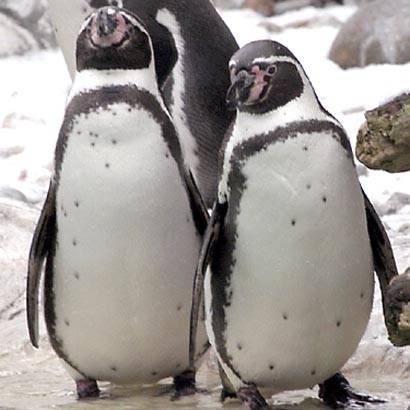 penguin gay humboldt