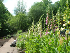 Foxgloves in the garden