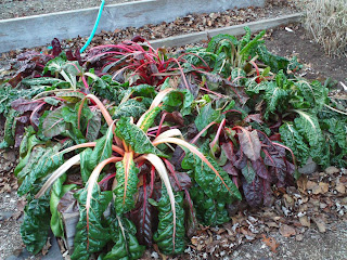 Swiss Chard Frost Damage