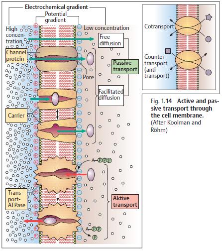 Osmotic Pressure Body