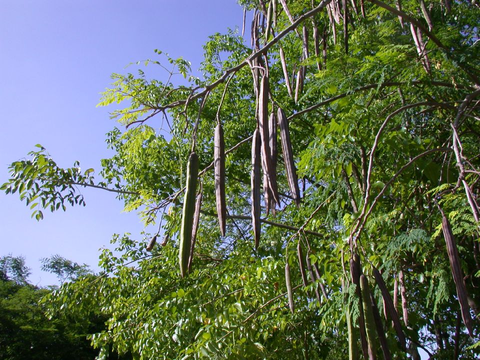 Malunggay moringga oleifera
