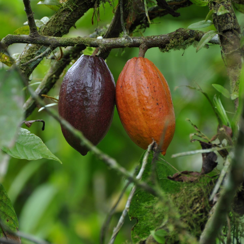 Virgin Chocolate: Where Do The Cocoa Plants Grow?