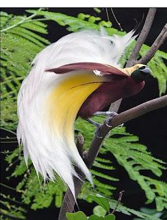 Indonesia attractions: Cendrawasih Bird of Paradise