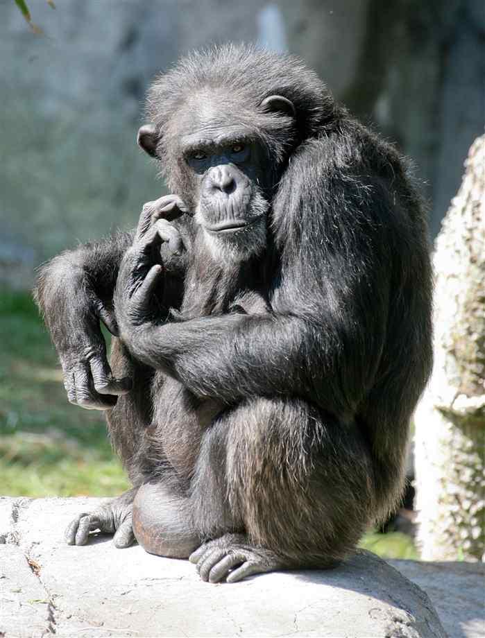 Chimp Face Stock Images, Royalty-Free Images & Vectors ...  |Chimp Sitting