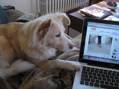 Miyako youtube addict | Canine Dog Training Usa: Miyako youtube addict