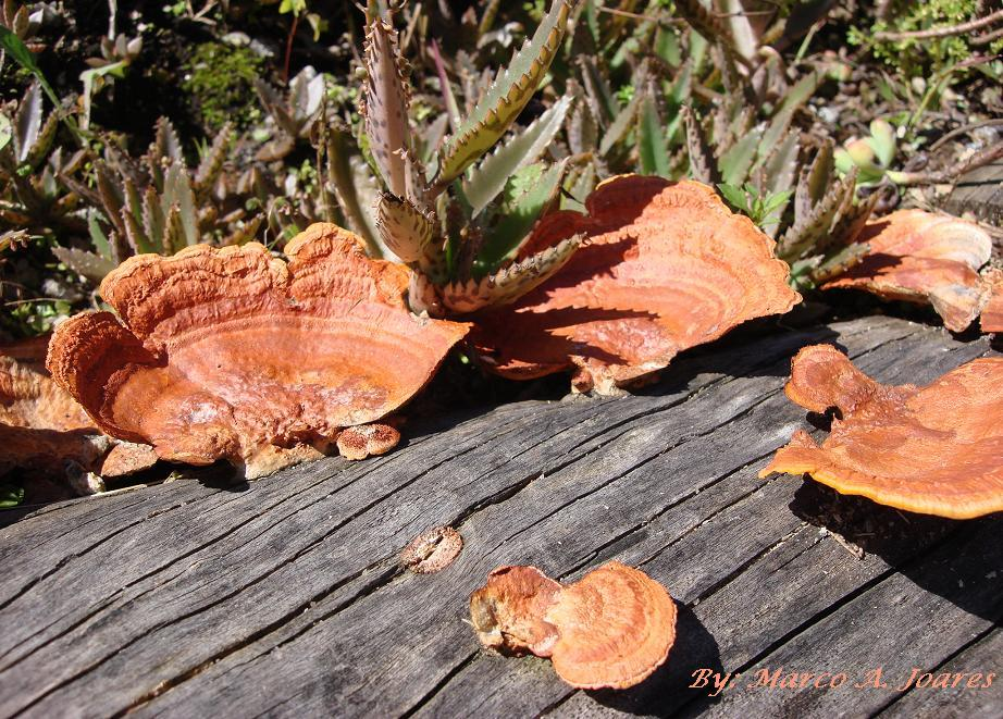 O Mundo de Mark Ovka: Cogumelos laranja em tronco