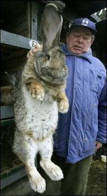 Giants Big Bunny Rabbits