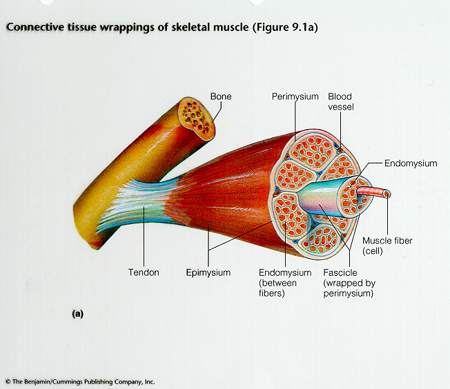 Anatomy And Physiology  Skeletal Muscle Tissue