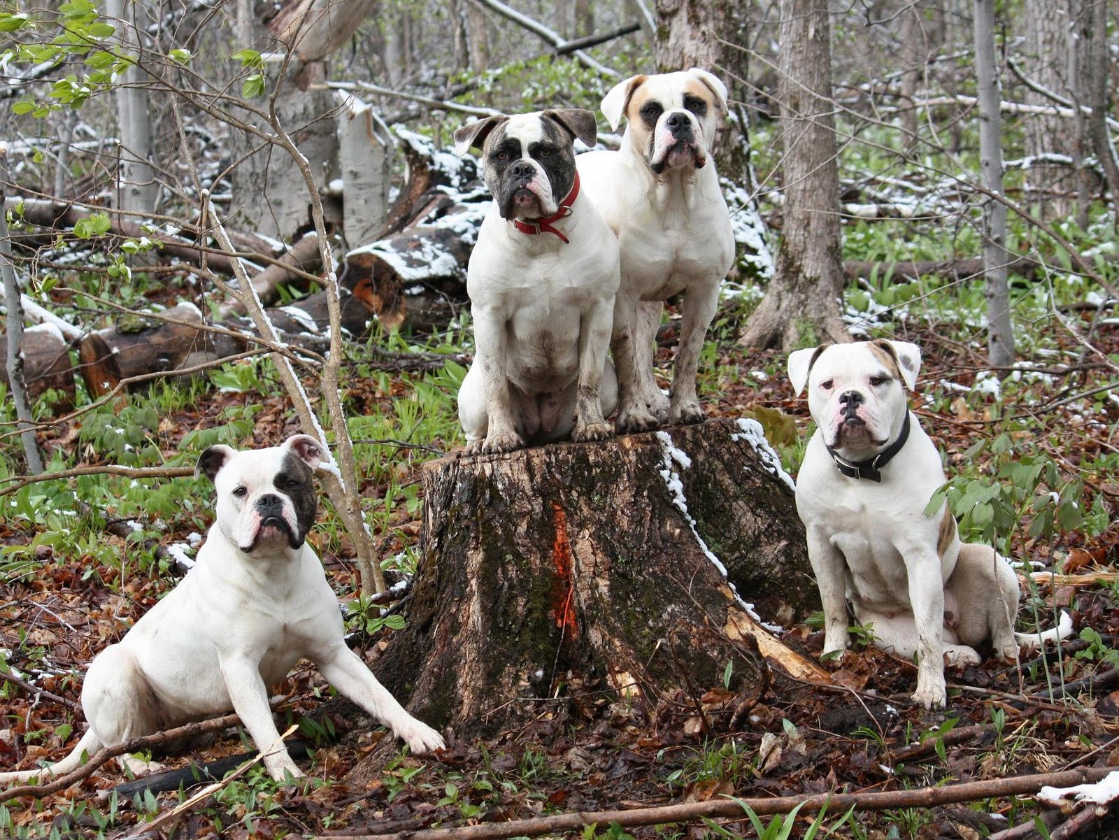 Bully Rascalz American Bulldogs: WELCOME TO BULLY RASCALZ KENNEL
