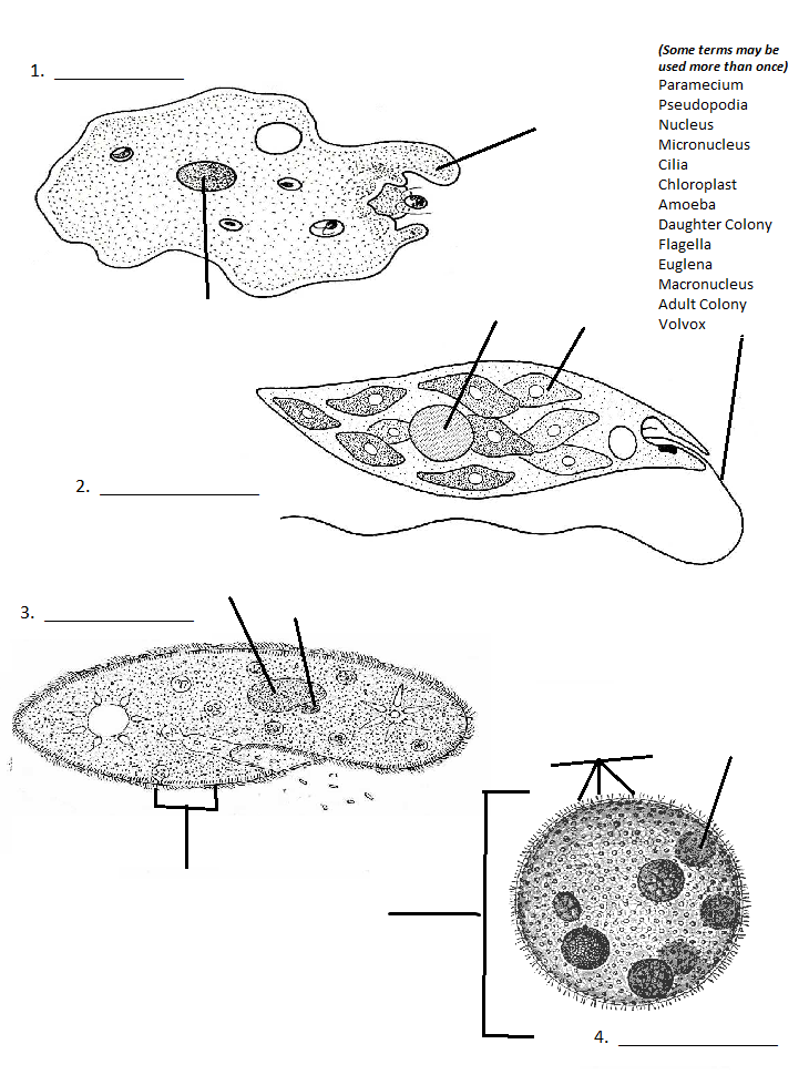 Printables. Protists Worksheet. Lemonlilyfestival