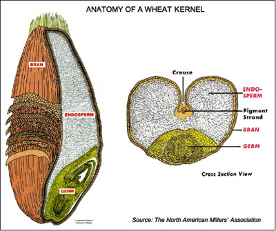 Grain Kernel Diagram Simplicity Wiring Of Wheat All Data Berry Online Parts A