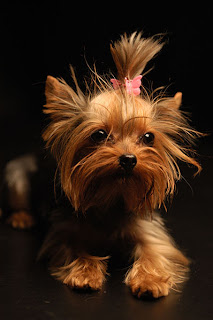 The Likely Source Of Yorkie S Small Stature Long Haired Coat And Blue Color Are Clydesdale Paisley Skye Terriers All Scottish