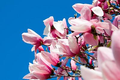 Tulip magnolia, Mainau Island, Lake Constance (Bodensee), Germany