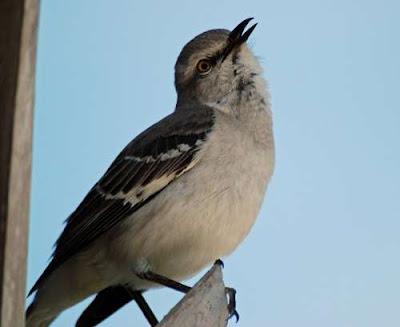 Florida State Bird Mockingbird Pictures   State Birds