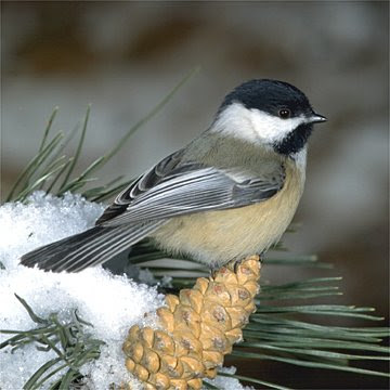 Maine State Bird Chickadee Pictures   State Birds
