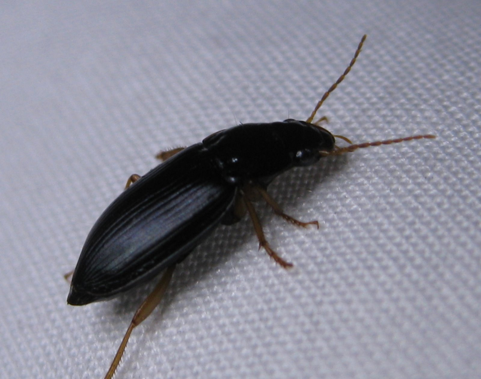 Little Black Jumping Bugs In My Bed Amazing Bedroom Living Room  Tiny Black  Bugs Found. Tiny Black Bugs In Bed