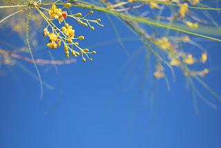 flor de palo verde en cielo azul