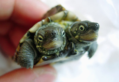 Strange Creatures - Two Headed Turtle
