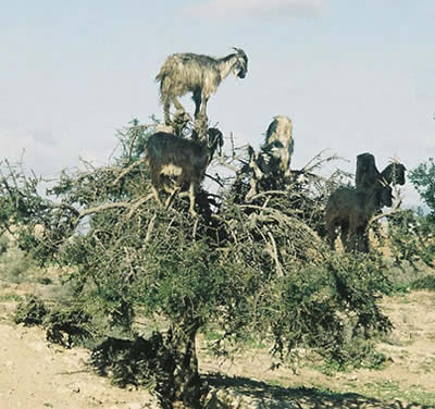 Weird Tree Climbing Goats