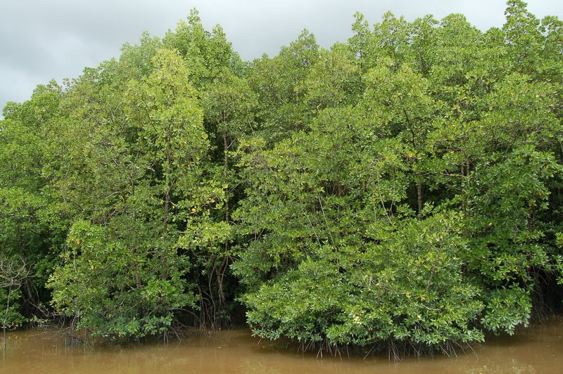 Contoh Hutan Mangrove Hutan Bakau Wikipedia Bahasa Indonesia Ensiklopedia Bebas Hutan Bakau Pohon Bakau