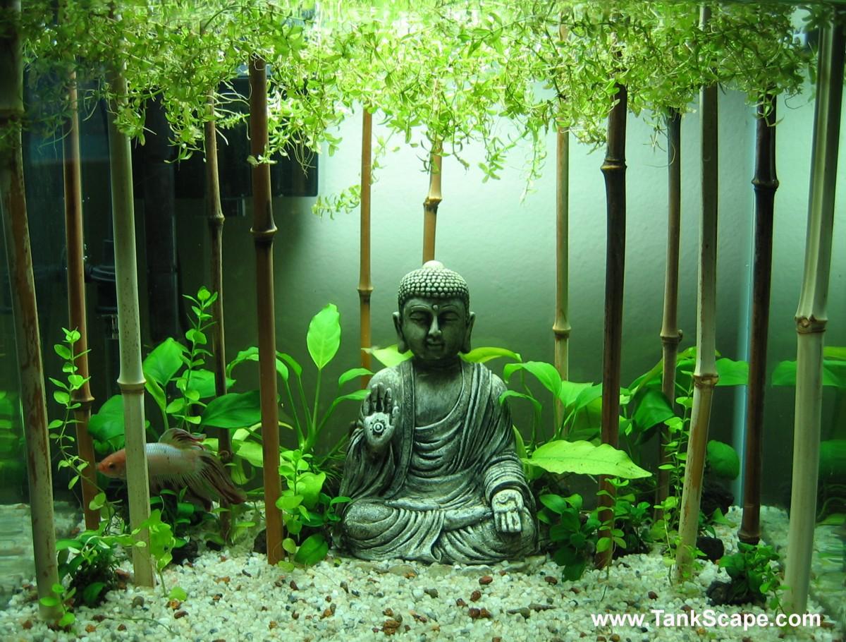 tank scape my planted buddha betta tank. Black Bedroom Furniture Sets. Home Design Ideas