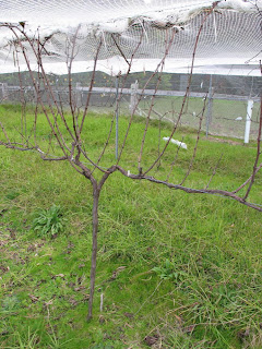 On The Grapevine Pruning Grapevines