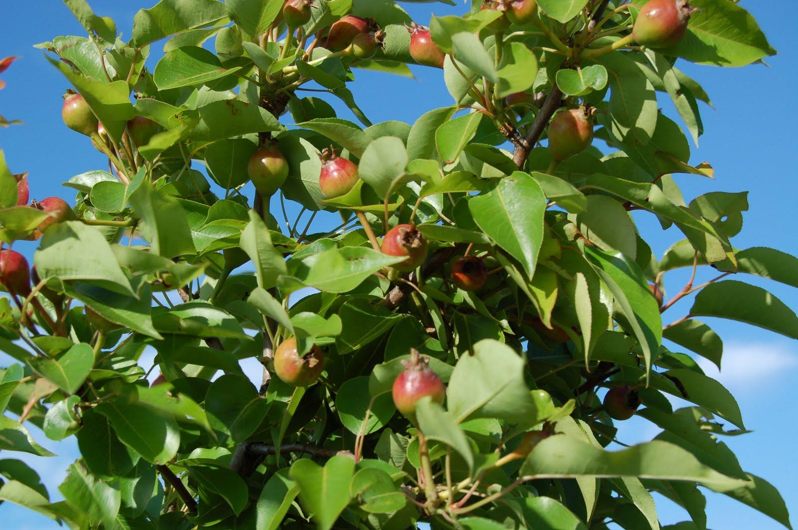 One Acre Homestead Each Peach Pear Plum