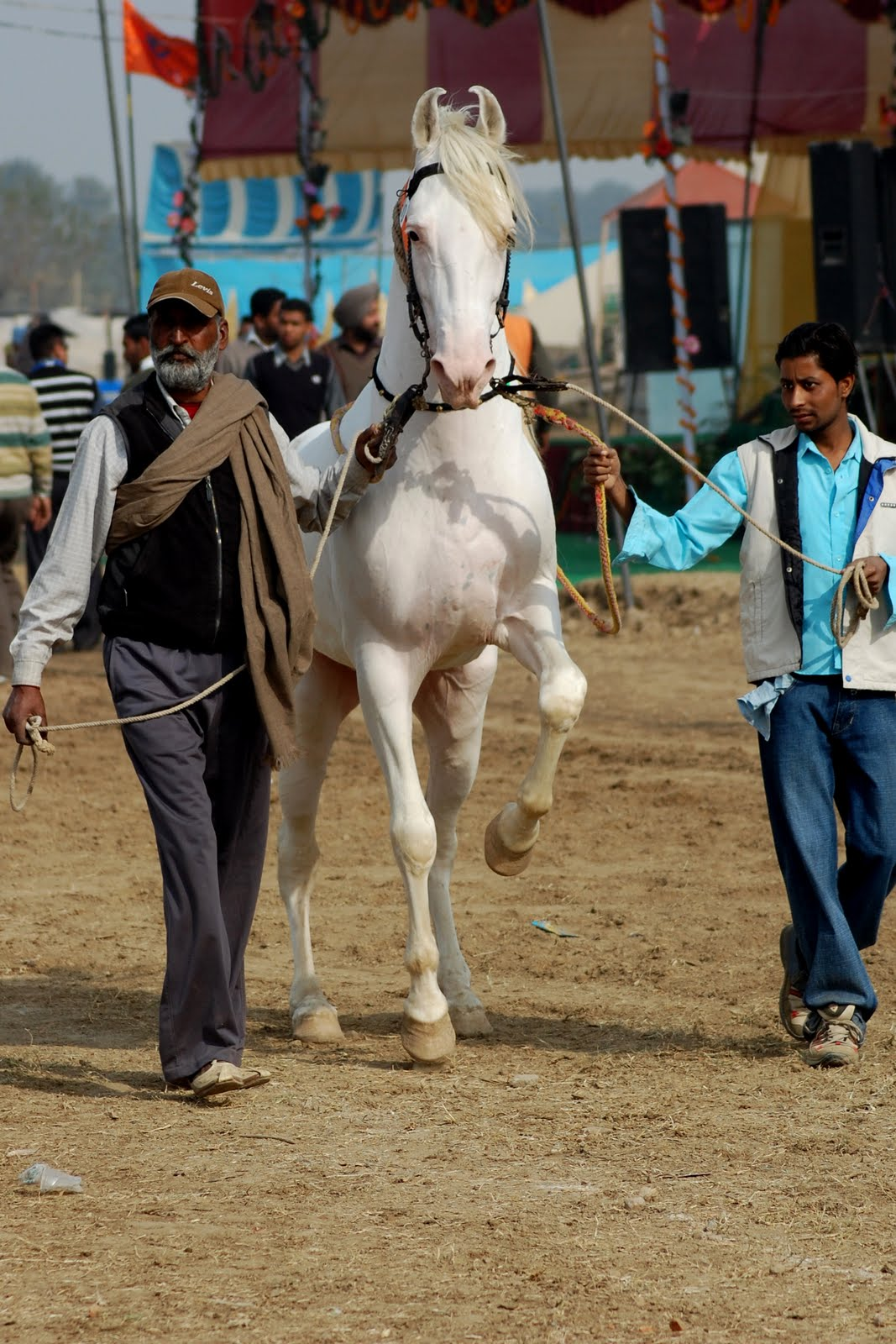 10+ Nukra ideas | horses, marwari horses, white horses