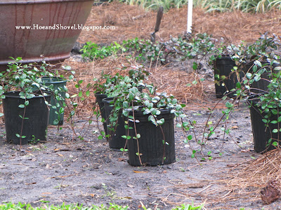Jasmine Ground Cover Central Florida