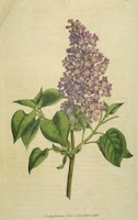 New Hampshire Purple Lilac