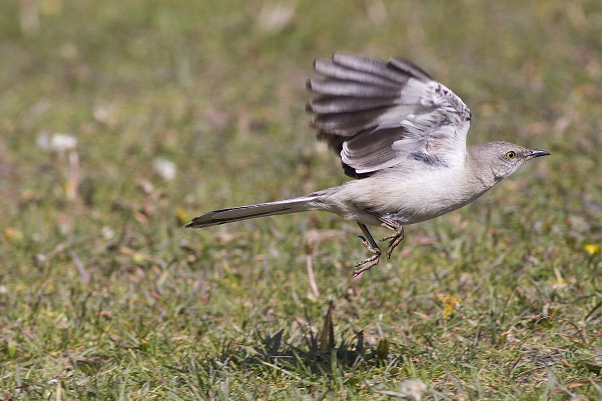 The Photography Bug is Spreading... - catandturtle  Newborn Mockingbird
