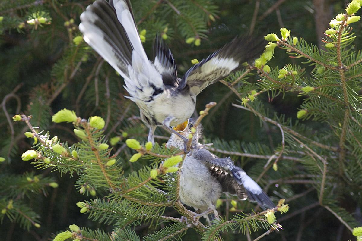 Julie Ann Brady : Blog On: Baby Mockingbird RIP  Newborn Mockingbird