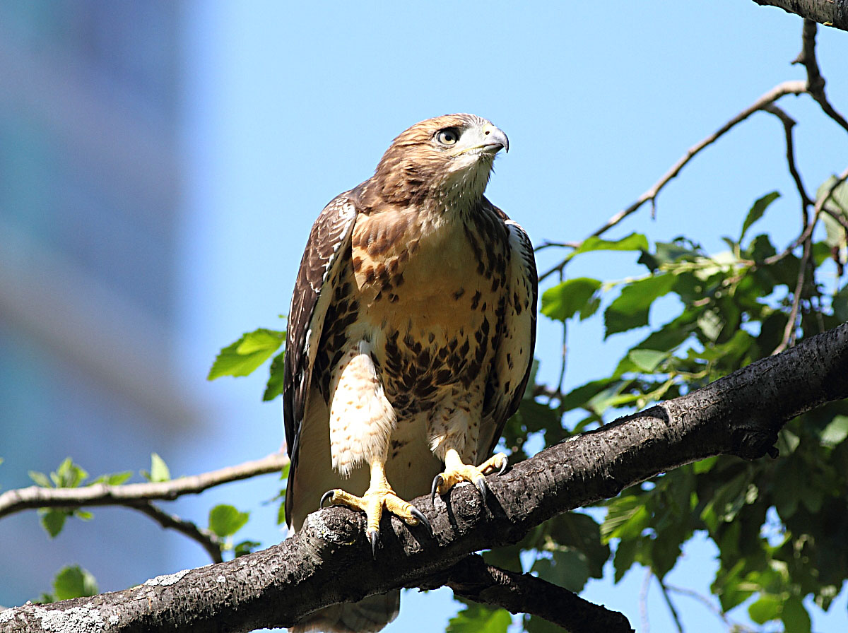 Red-Tailed Hawk Nest 2009-2017: Female Red tailed Hawk vs
