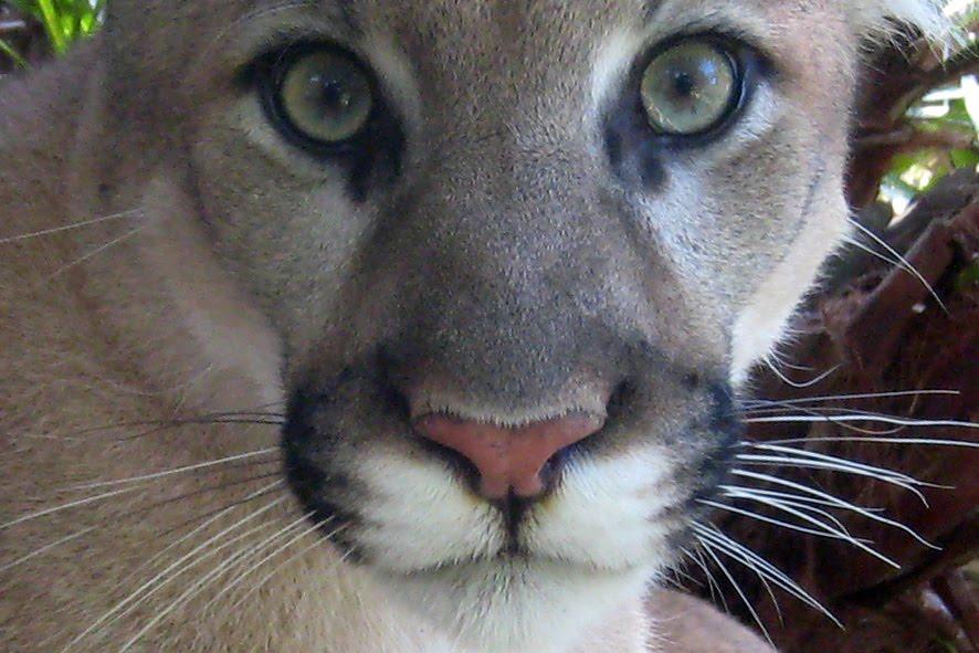 cougar plan q