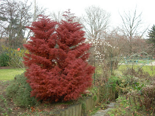 surprenant conifere rouge paris cote jardin