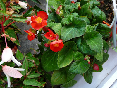 Arrivage De Nouveaux Begonias Paris Cote Jardin