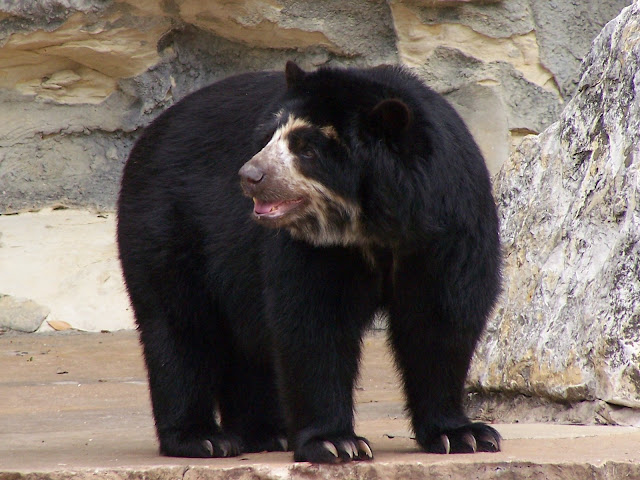 bear at San Antonio Zoo