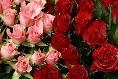 Rosas côr-de-rosa e vermelhas