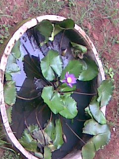How To Grow Lotus At Home Sulekha Creative