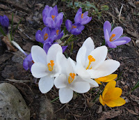 many colored crocus