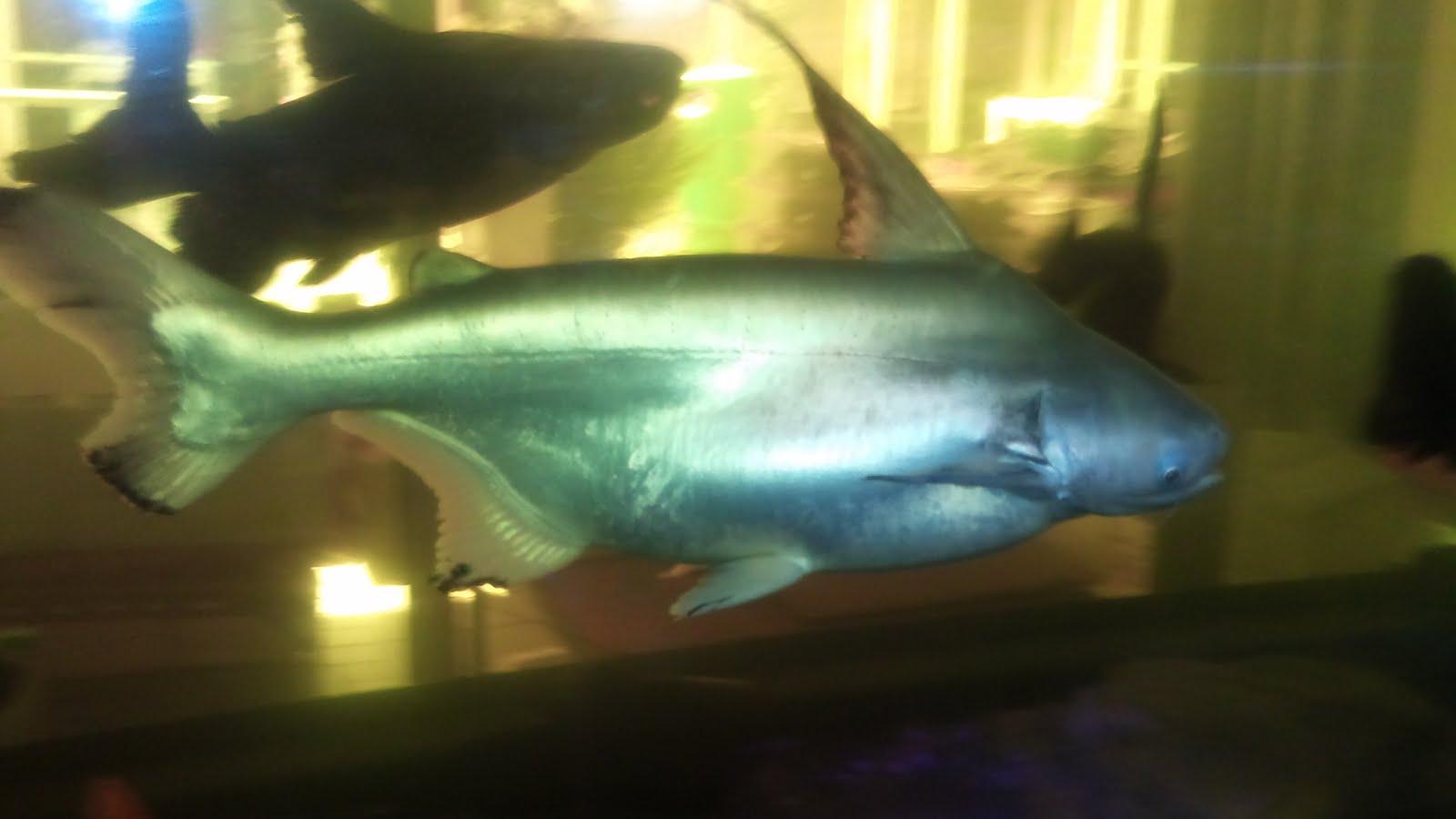 Peacock Bass and Oscars, 750 liters Aquarium MFK - YouTube |Peacock Bass Aquarium