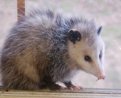 Possum in the kitchen window