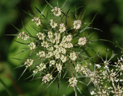 Queen Anne's Lace axillary umbel showing bracts