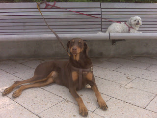 Doberman and Maltzu hang out on the chelsea pier, nyc
