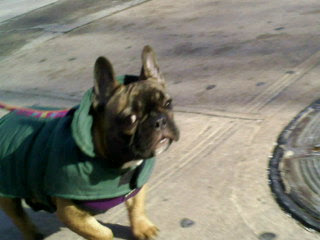 French bulldog wears a new coat for her first winter in alphabet city